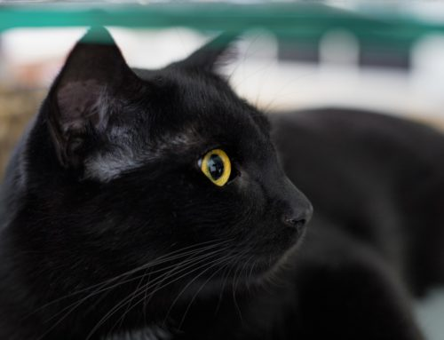 Le chat noir – croyances et superstitions